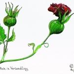 Rose in Verwandlung